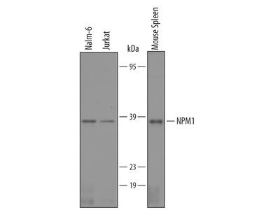 Human / Mouse NPM1 Antibody