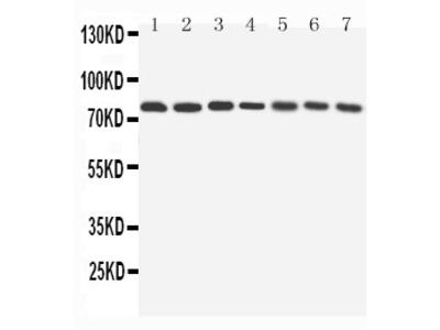 Anti-Apg7/ATG7 Antibody