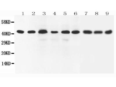 Anti-SOX7 Antibody