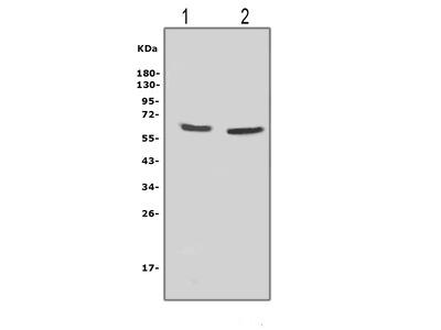 Anti-NOX2 / gp91phox antibody