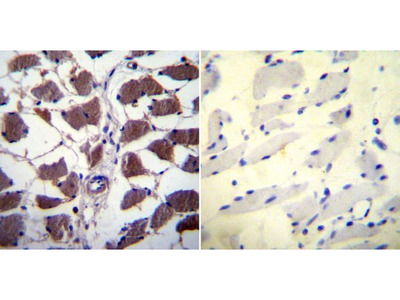 Anti-NFAT2 antibody [7A6]