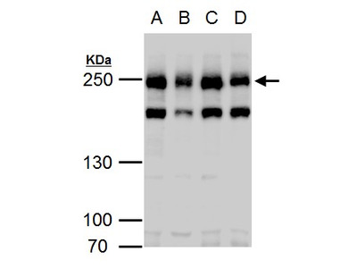 Anti-Claspin antibody