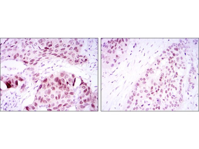 Anti-SOX2 antibody [10F10]