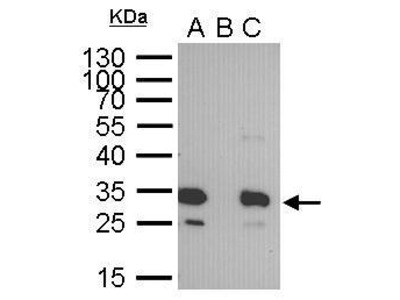 Mouse Anti-GFP Antibody for Western Blots