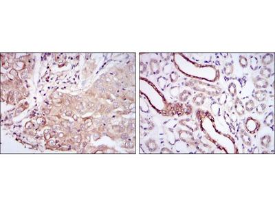 Anti-PODXL antibody [5F5]