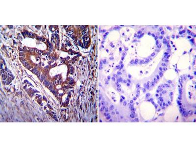 Anti-CFTR antibody [CF3]
