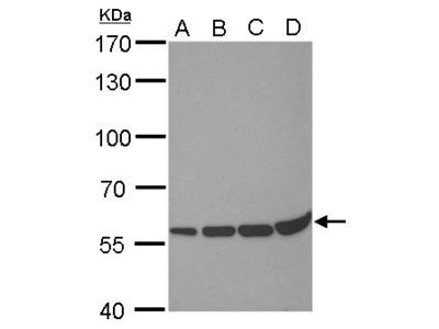 Anti-PRDM14 antibody [GT1359]