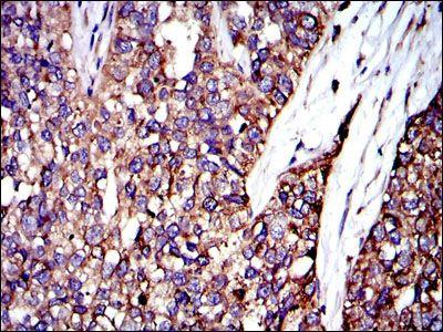 Anti-CRK antibody [3G11C1]