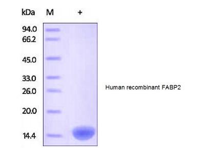 Human CellExp™ FABP2 /I-FABP, human recombinant
