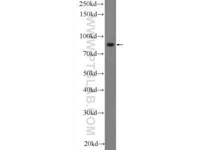PLCD3 Polyclonal Antibody