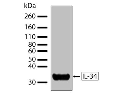 IL-34 Recombinant Rabbit Monoclonal Antibody (2H3L6)