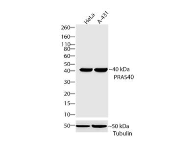PRAS40 Antibody (4HCLC), ABfinity™ Rabbit Oligoclonal