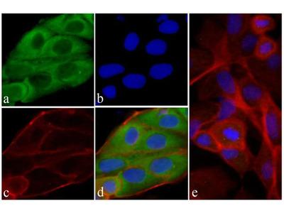 RAB11 Antibody (3H18L5), ABfinity™ Rabbit Monoclonal