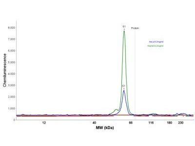 Mouse Monoclonal HSP60 Antibody