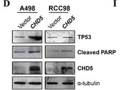 CHD5 Antibody