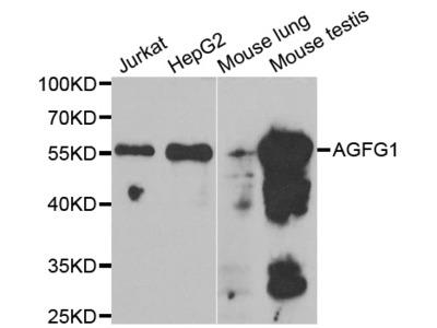 Anti-AGFG1 antibody