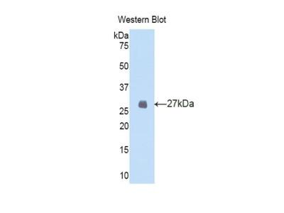 FBN2 / Fibrillin 2 Antibody