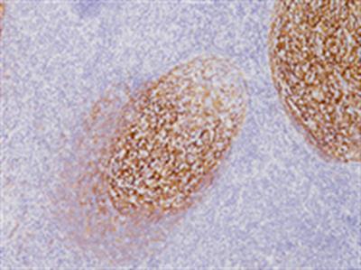 CD21 Antibody