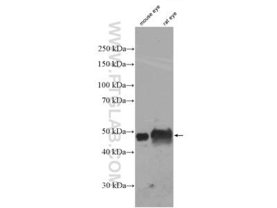 BFSP2 antibody