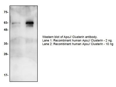 ApoJ/Clusterin Antibody