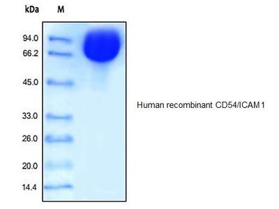 Human CellExp™ ICAM1 /CD54, human recombinant