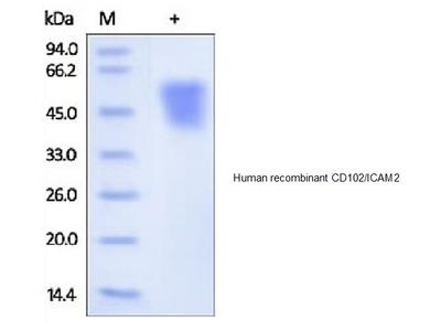 Human CellExp™ ICAM2 /CD102, human recombinant