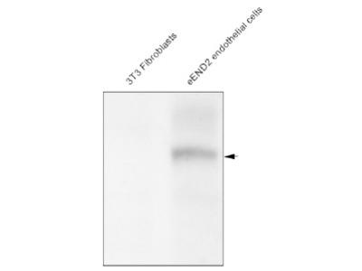 anti CD309 / VEGFR-2 / Flk-1