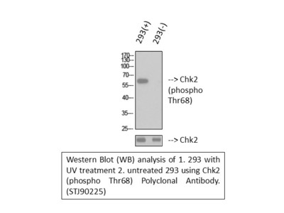 Anti-Phospho-Chk2 (T68) antibody (STJ90225)