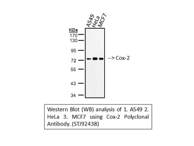Anti-Cox-2 antibody (STJ92438)