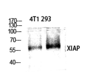 Anti-XIAP antibody