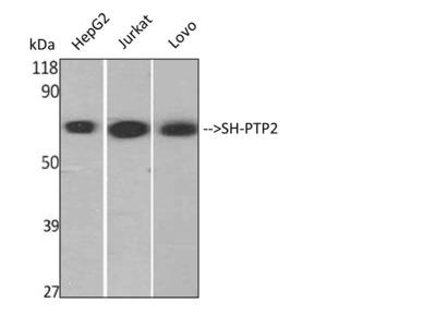 Anti-SH-PTP2 antibody (STJ95658)