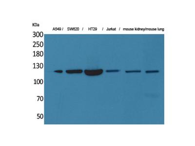 Anti-CD133 antibody (STJ96557)