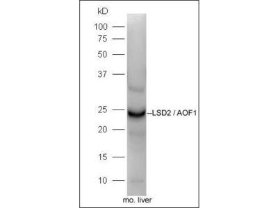 LSD2 antibody