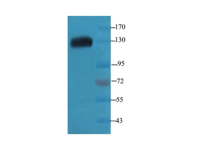 TRAPPC11 antibody