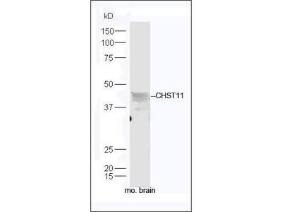 CHST11 antibody