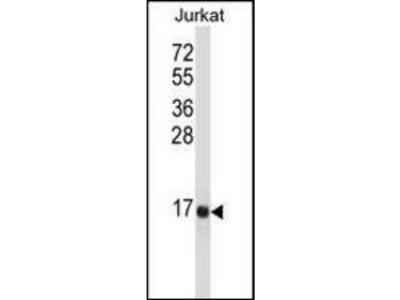 Neurokinin B antibody