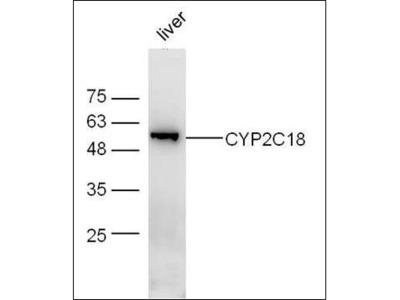 CYP2C18 antibody