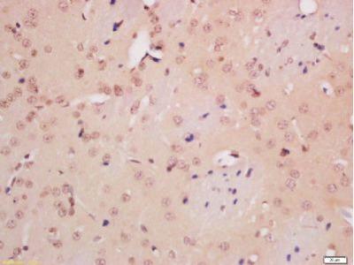 NeuN antibody