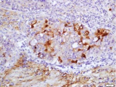 2 Cys Peroxiredoxin antibody