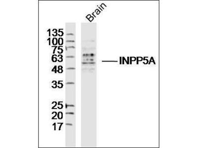 INPP5A antibody
