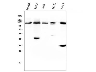 Anti-CBL Picoband Antibody