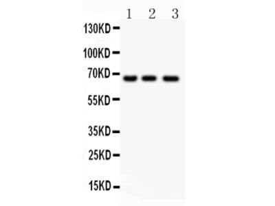 Anti-NF-kB p65/RELA Picoband Antibody