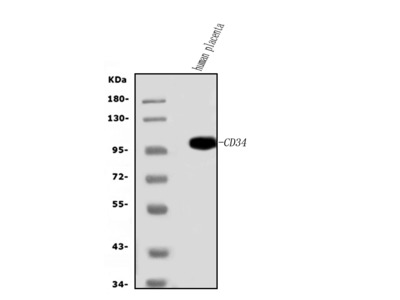 Anti-CD34 Picoband Antibody