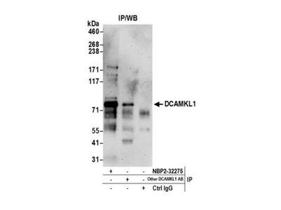 Rabbit Polyclonal DCLK1 Antibody