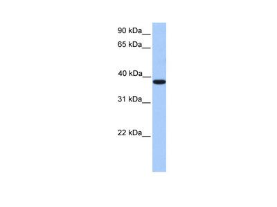 MEIS1 antibody - C-terminal region (ARP38149_P050)