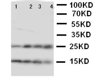 NPM2 Polyclonal Antibody
