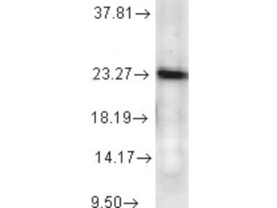 p23 /PTGES3 Antibody (JJ6)