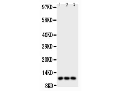 I-309 / CCL1 Antibody