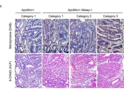 Nitrotyrosine Antibody (39B6)