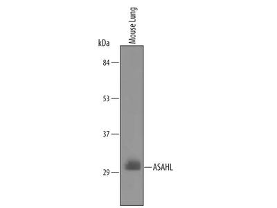 ASAHL /N-acylethanolamine-hydrolyzing Acid Amidase Antibody